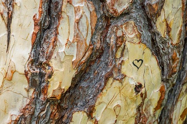 kmen borovice